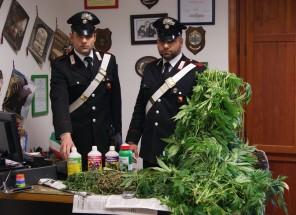 marijuana convento